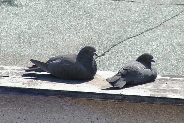 Stock2   Sitting pigeons by pralinkova princezna