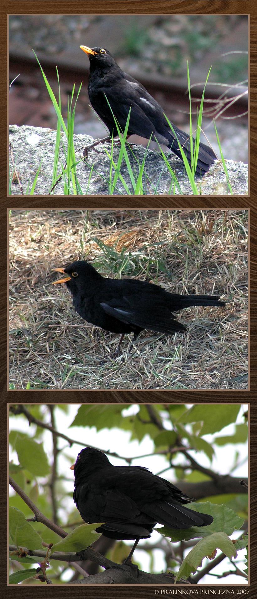Funny blackbirds by pralinkova princezna