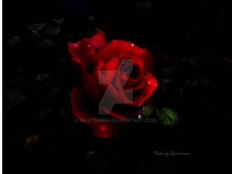 Rain drops on roses (droplet version)