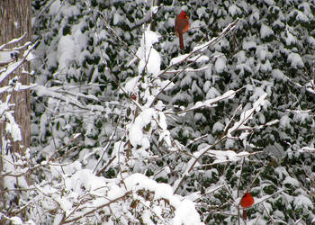 Cardinals by rachwallace
