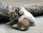 Playful Tigers by fenrii