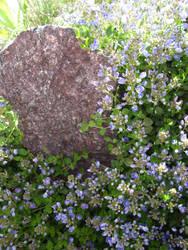 Neighbor's Itty Bitty Blue Flowers