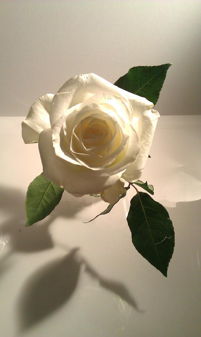 rose by Goldphishy
