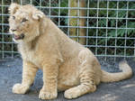 LION-cute baby