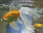 gold fish - mermaid tail 2