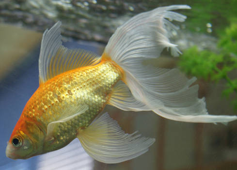 gold fish or mermaid tail 17