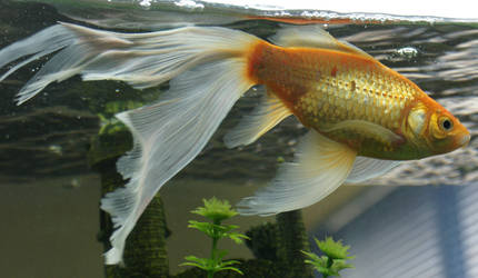 gold fish or mermaid tail 22 by scratzilla
