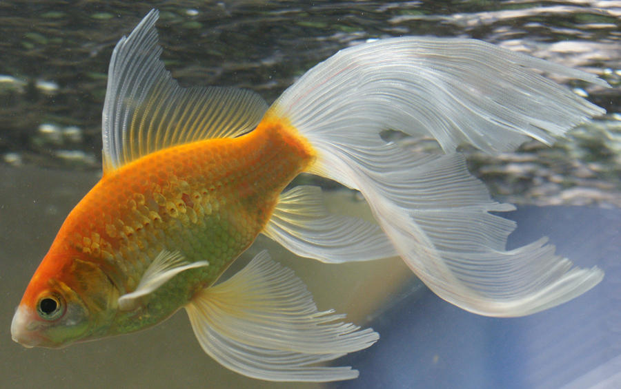 Goldfish tail for Fish and tails
