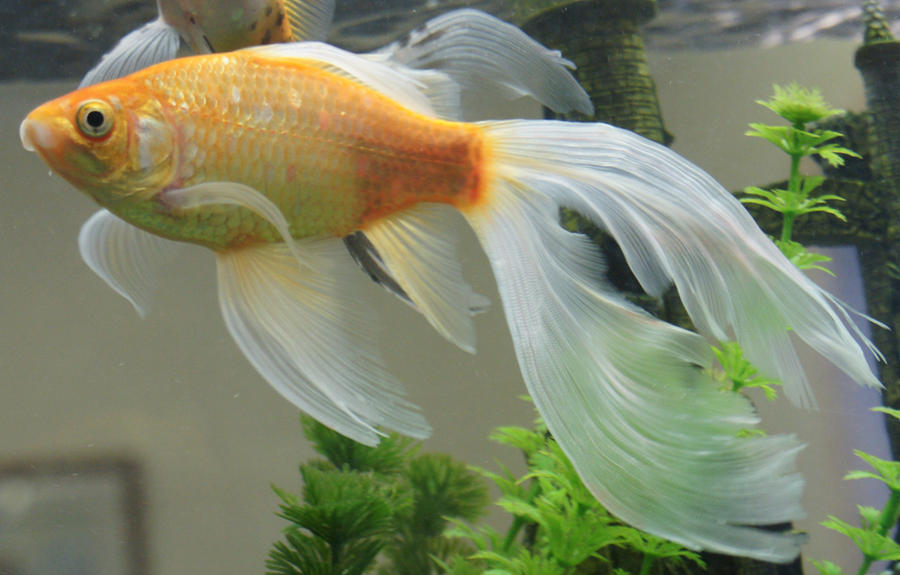Gold fish or mermaid tail 30 by scratzilla on deviantart for Koi fish tail
