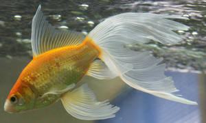 gold fish or mermaid tail 34