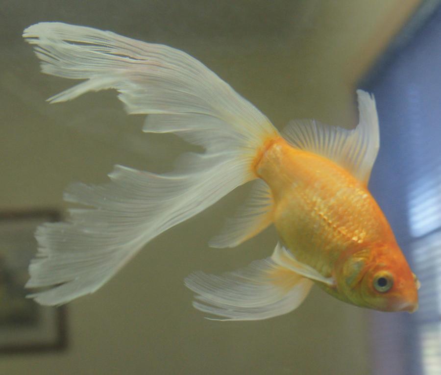 Goldfish Mobile Tour