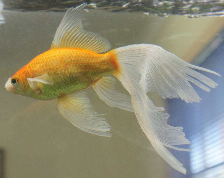 gold fish mermaide tail 48