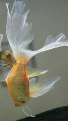 gold fish mermaid tail 49 by scratzilla