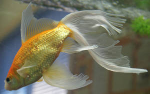 goldfish mermaid tail 50