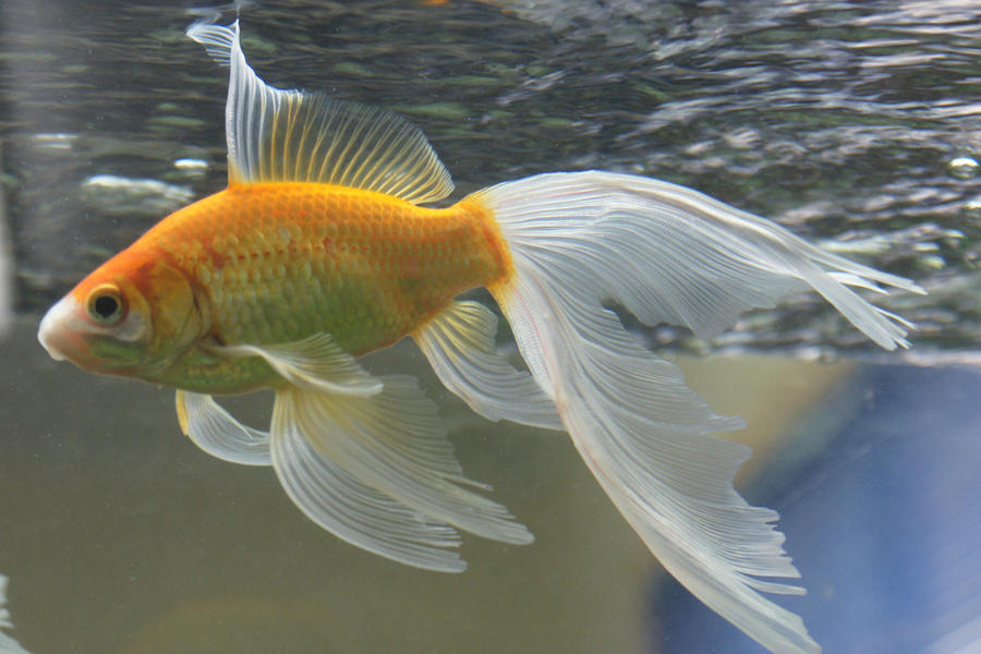 Gold fish mermaid tail 51 by scratzilla on deviantart for Koi fish tail