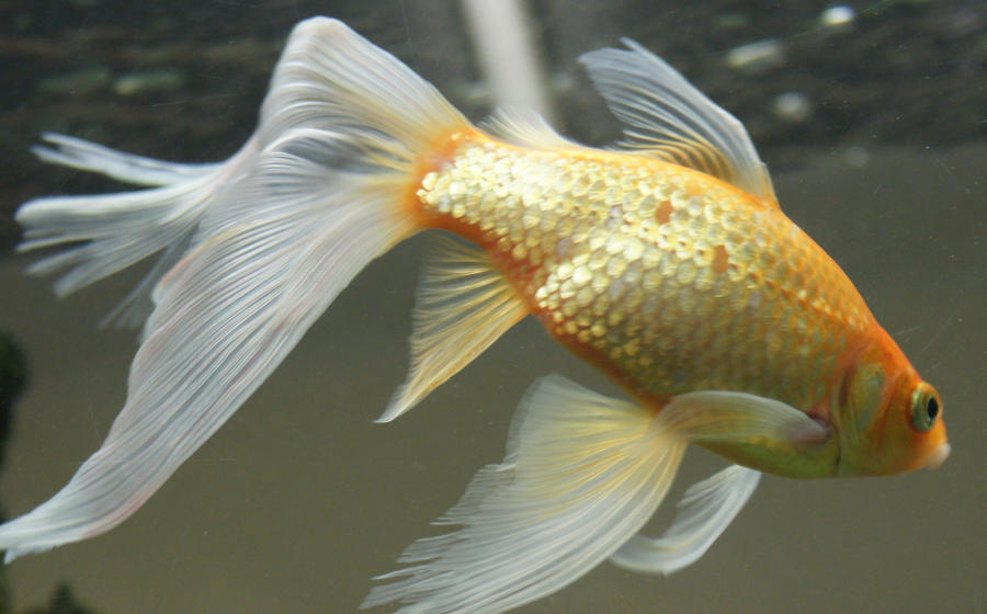 Gold fish mermaid tail 53 by scratzilla on deviantart for Fish and tails