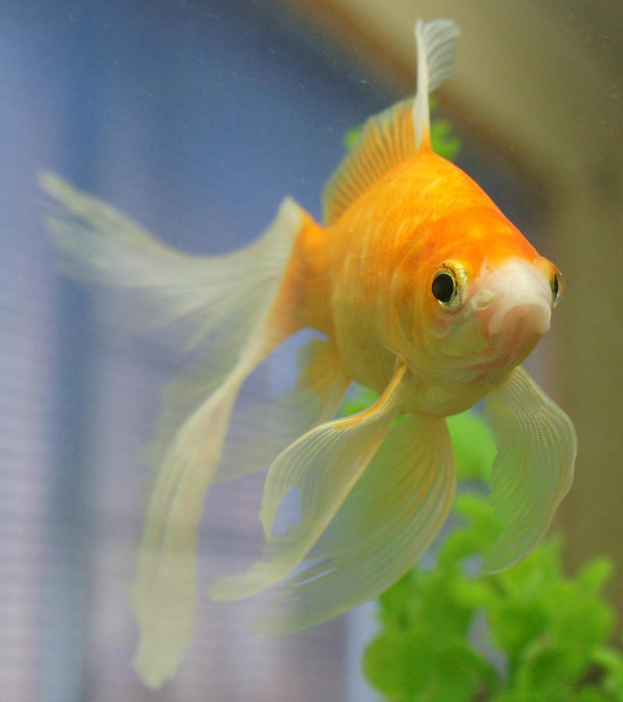 gold fish  mermaid tail 57