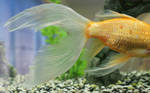 goldfish mermaid tail 62