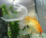 goldfish mermaid 63