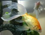 goldfish mermaid 64