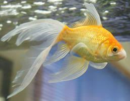 goldfish mermaid tail 65 by scratzilla