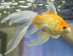 goldfish mermaid tail 65