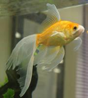 goldfish mermaid tail 66 by scratzilla
