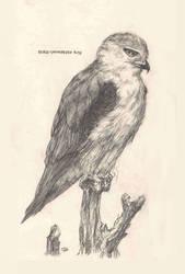 Black Shouldered Kite by Manatiini