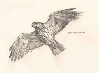 Broad-Winged Hawk by Manatiini