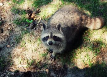 A cute little raccoon by Misuuh