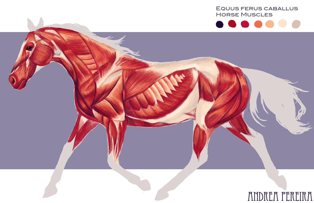 Horse muscles by hatarus on DeviantArt