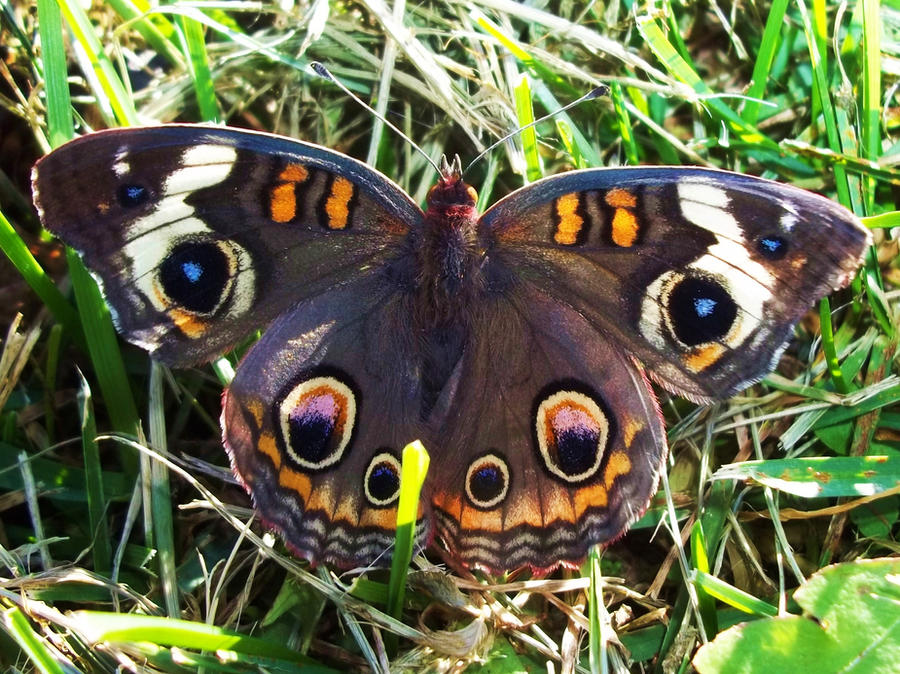 Buckeye Butterfly by AppleBlossomGirl