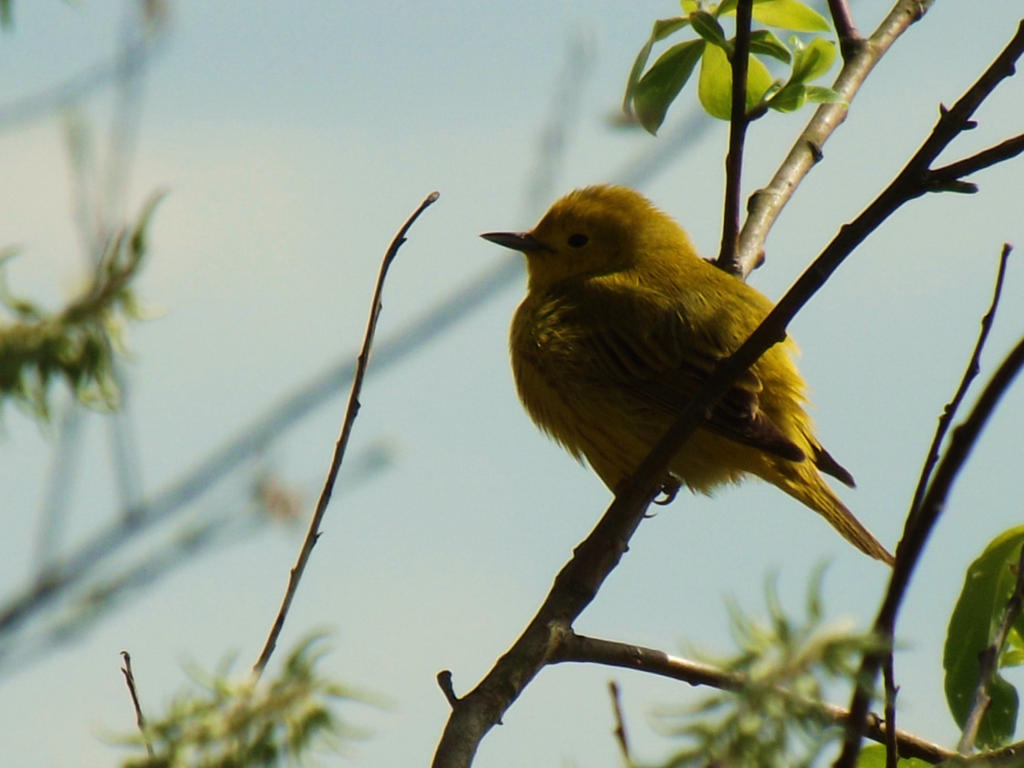 Yellow Warbler III by AppleBlossomGirl