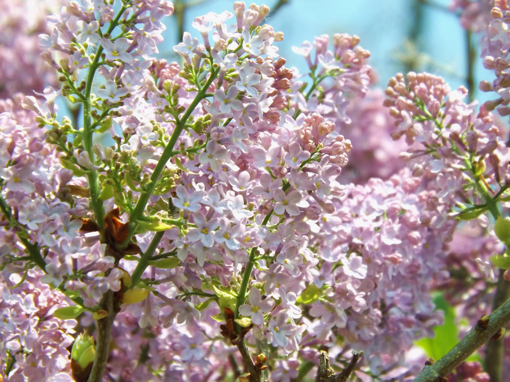 Lilac Bush by AppleBlossomGirl