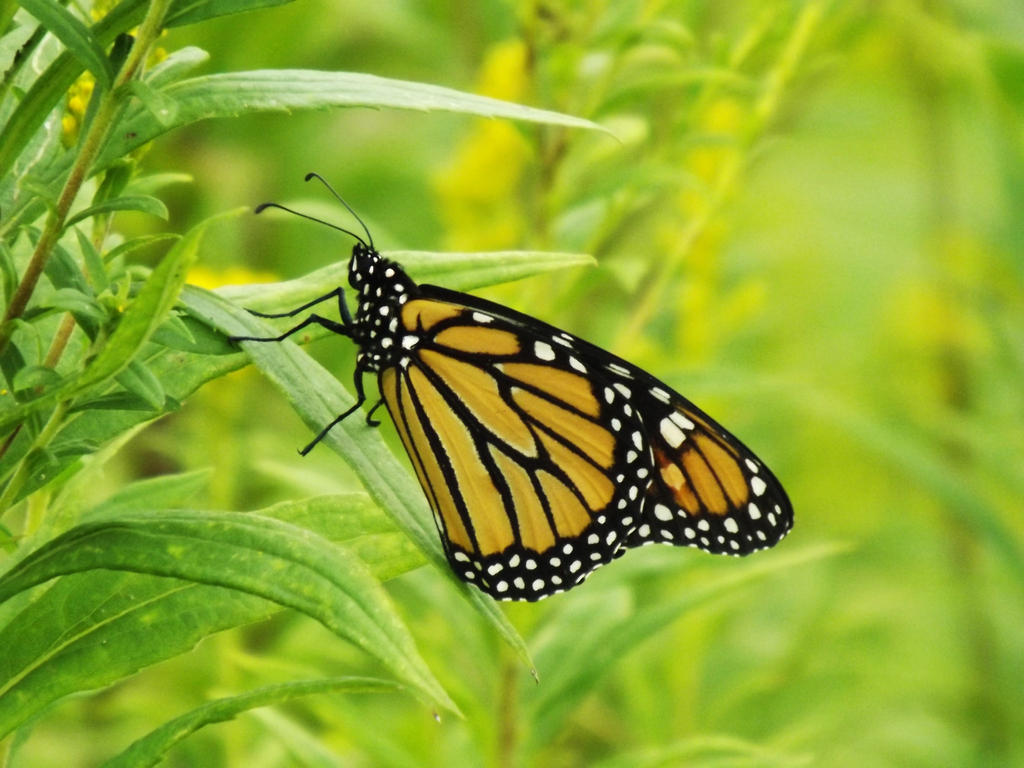 Monarch Butterfly by AppleBlossomGirl
