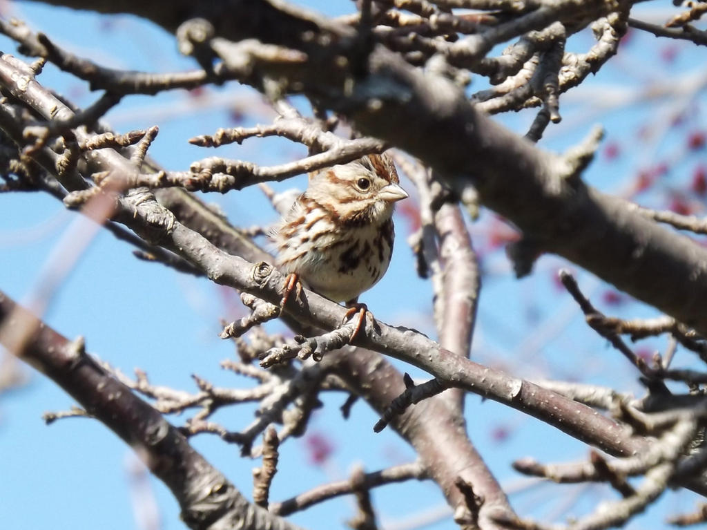 Song Sparrow by AppleBlossomGirl