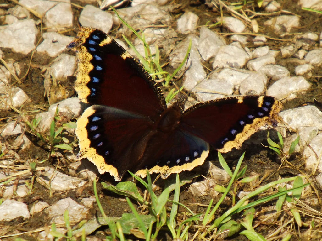 Mourning Cloak Butterfly by AppleBlossomGirl