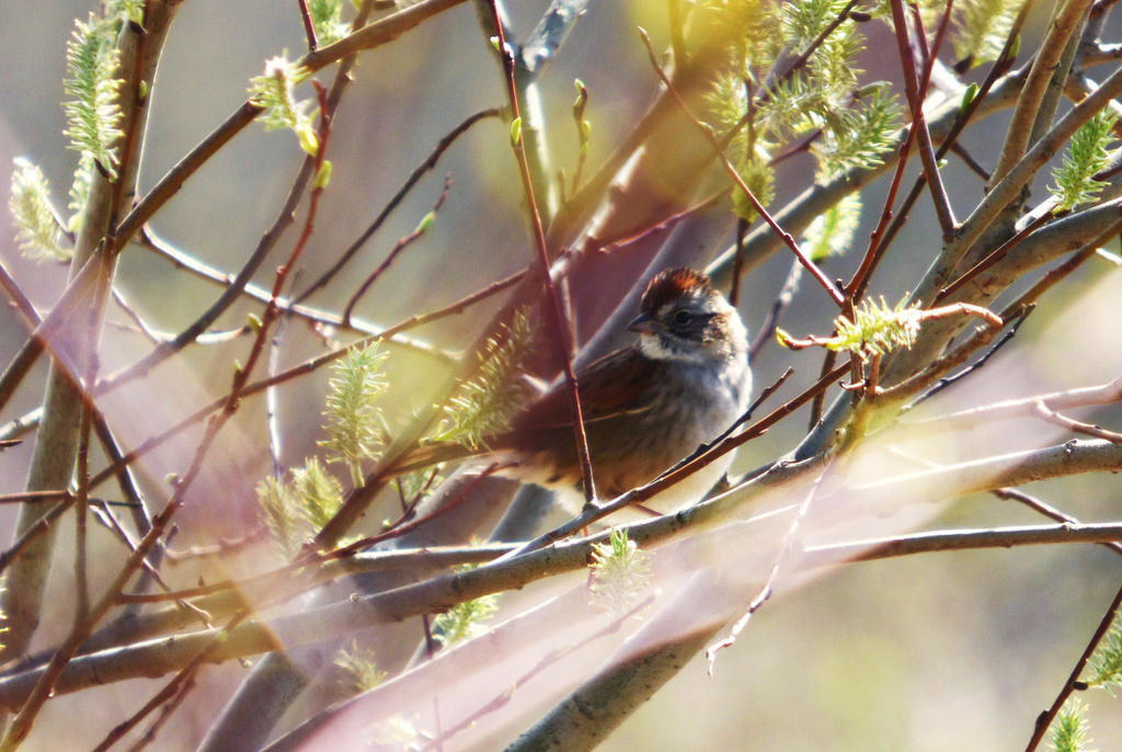 Swamp Sparrow by AppleBlossomGirl