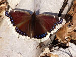 Mourning cloak by AppleBlossomGirl