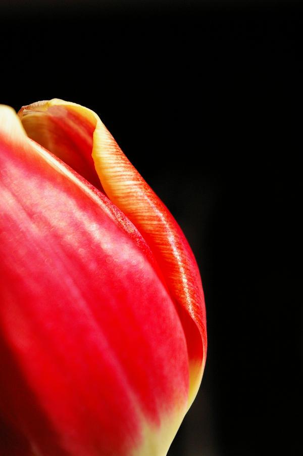 Red tulip by jenniekatarina