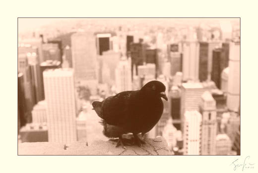 New York, USA: pigeon