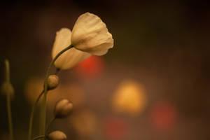 Poppy II by sandraa79