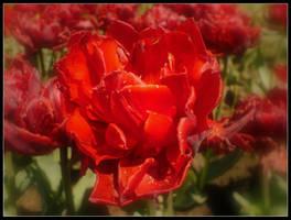tulipan by T-E-N-E-B-R-A