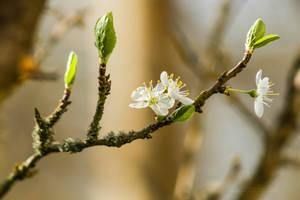Flower cherry tree 1 by hubert61