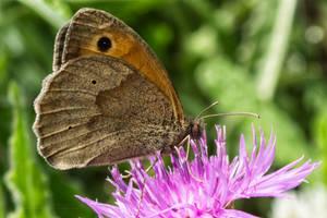 Papillon7 by hubert61