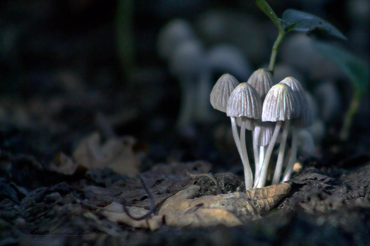 mushrooms5 by hubert61