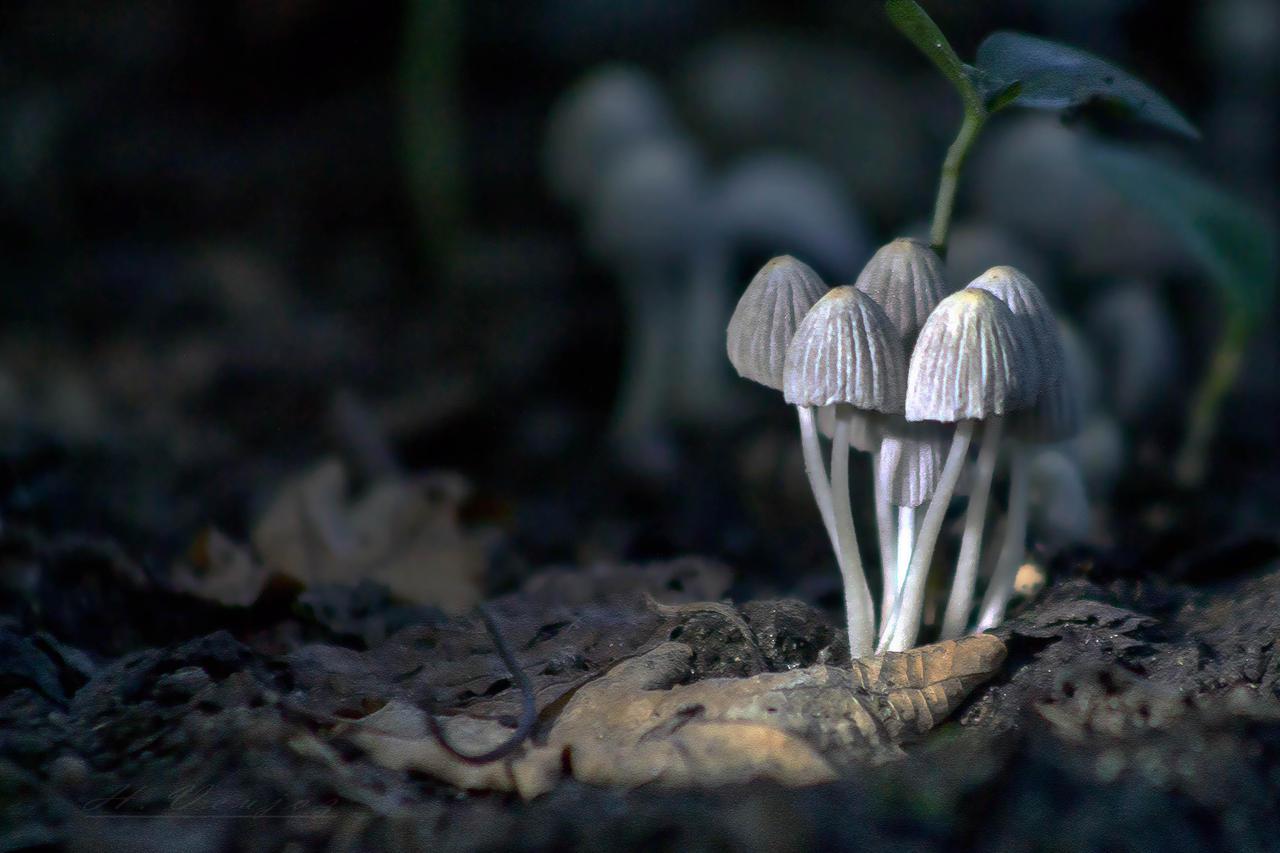 mushrooms5 by hubert61
