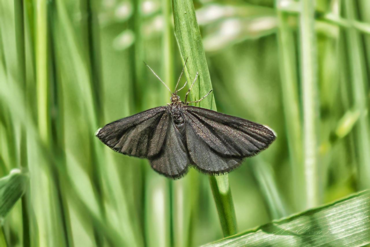 Papillon10  Odezia atrata by hubert61