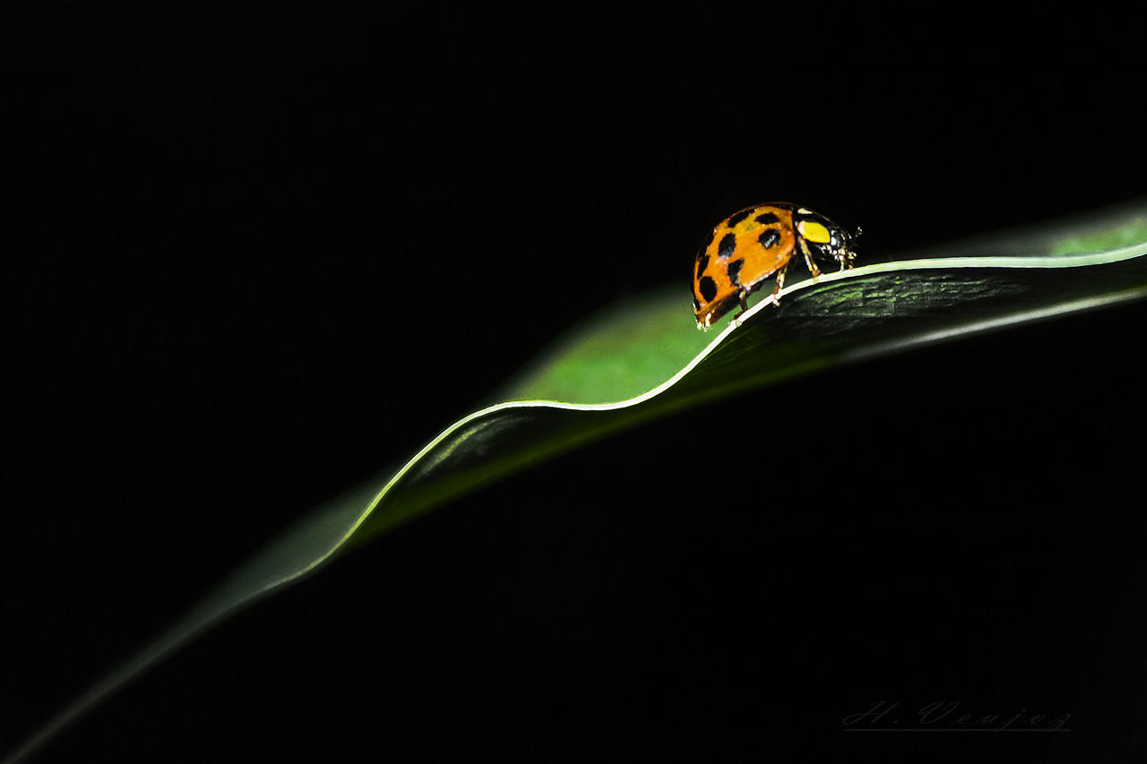 Coccinelle1 by hubert61