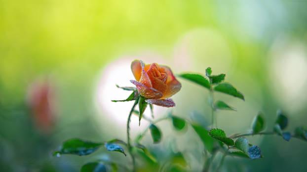 2020-05-13 Rose